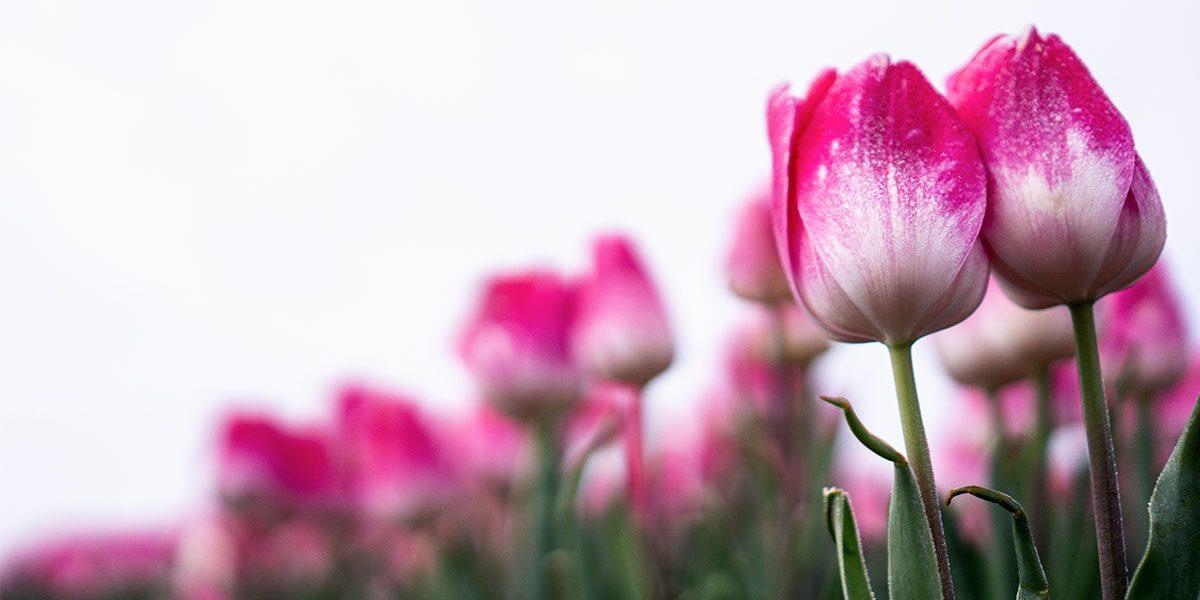 Tulpenroute Noordoostpolder
